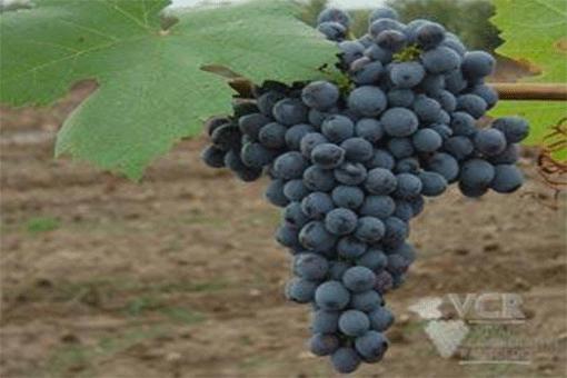 種類が豊富!スペインワインによく使われるブドウの品種【まとめ】